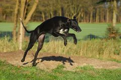 Black Galgo Espanol jumpes. Black galgo espanol makes a huge jump Royalty Free Stock Images