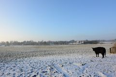 Galloway cattle on a snowy meadow Royalty Free Stock Photo