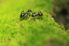 Black garden ant Stock Photography