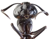 Black Garden Ant Cutout. Black Garden Ant Low Scale Magnification Stock Photo