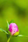 Black garden ant Stock Images