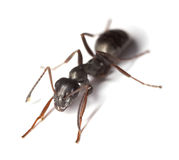 Black garden ant (Lasius niger) Royalty Free Stock Photo
