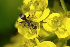 Black garden ant, lasius niger. Macro closeup portrait Royalty Free Stock Photos
