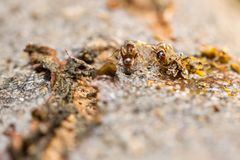 Black garden ant lasius niger at work on a tree royalty free stock photography