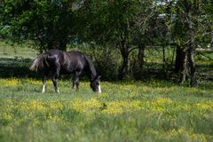 Black gelding grazing in buttercup pasture. Black gelding horse grazing in a spring pasture covered in yellow buttercups stock photo