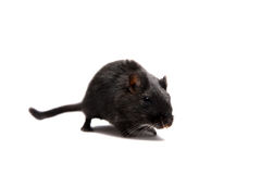 Black gerbil Royalty Free Stock Images