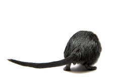 Black gerbil Stock Photos