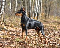 Black German Pinscher in a forest royalty free stock photo
