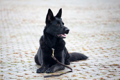 Black German Sheepdog Royalty Free Stock Photos