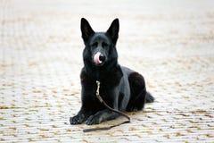 Black German Sheepdog Licking His Muzze Stock Photography