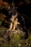 Black German Shepard dog in forest Royalty Free Stock Photo