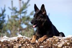 Black German shepherd Stock Image