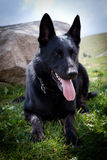 Black German Shepherd Stock Photos