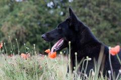 Black German Shepherd Stock Photos
