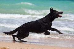 Black german shepherd. Running at the beach Stock Photo