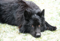 Black german shepherd. Black dog (german shepherd) in snowfall weather Royalty Free Stock Images