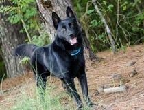 Black German Shepherd Adoption Photo. Black German Shepherd Dog Malinois Outdoor Adoption Photo royalty free stock photos