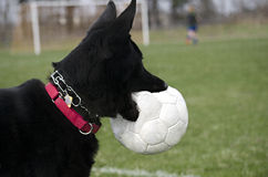 Black German Shepherd with ball Stock Images