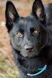 Black German Shepherd Belgian Malinois Stock Photo