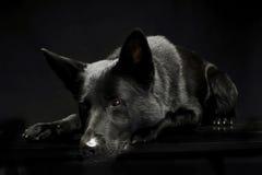 Black German shepherd in the dark studio. Black German shepherd lying in a dark studio Stock Photos