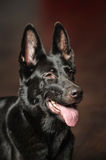 Black German Shepherd Dog Royalty Free Stock Photo