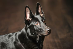Black German Shepherd Dog Stock Image