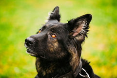 Black German Shepherd Dog or Alsatian Wolf Dog Royalty Free Stock Photo