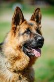 Black German Shepherd Dog or Alsatian Wolf Dog Stock Photo