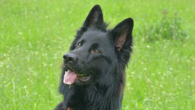 Black German Shepherd dog in Barley field Royalty Free Stock Photos