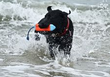 Black German shepherd dog fetching a toy at dog beach Stock Photos