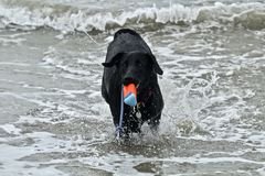Black German shepherd dog fetching a toy at dog beach Stock Images