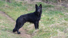 Black German Shepherd Dog Stock Images