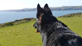 Black German Shepherd dog photographed from behind. Young black German Shepherd dog against a background of field and sea in England royalty free stock photography