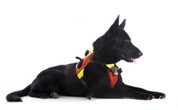 Black german shepherd Stock Photo