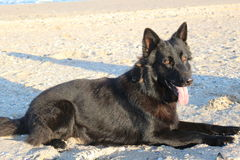 Black German Shepherd. Lying on the beach, laquer blacks Royalty Free Stock Images