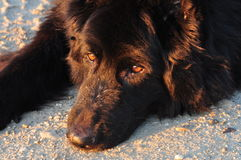Black german shepherd. Royalty Free Stock Images