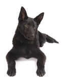 Black German Shepherd Puppy. A young black German Shepherd puppy isolated on white background Royalty Free Stock Photography