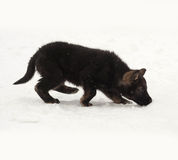 Black German Shepherd puppy going in snow Stock Images