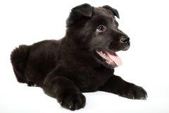 Black german shepherd puppy Royalty Free Stock Photography