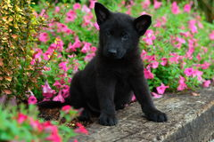 Black German Shepherd puppy sitting in colorful summer flowerbed Stock Photos