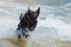 Black german shepherd Royalty Free Stock Image