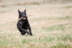 Black German Shepherd Stock Images