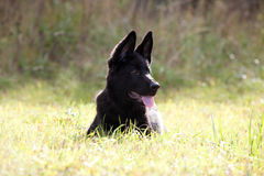 Black German shepherd`s puppy Royalty Free Stock Image