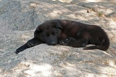 Black German shepherd`s puppy. 9 weeks lies and sleeps on a mountain hut royalty free stock photography