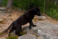 Black German shepherd`s puppy. 9 weekswalking in a mountain forest stock photos