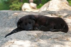Black German shepherd`s puppy. 9 weeks lies and sleeps on a mountain hut stock image
