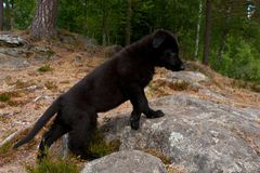 Black German shepherd`s puppy. 9 weeks stand on a mountain hut stock photo