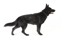 Black German Shepherd from the side Stock Image