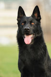 Black german shepherd sitting Stock Images