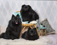 Black German Spitz dogs sitting on chair in studio, portrait. Isolated on white Royalty Free Stock Photography
